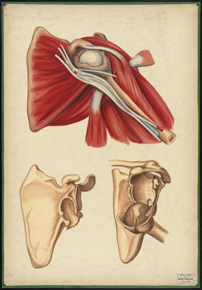 Teaching watercolor of shoulder dislocation · OnView: Digital ...