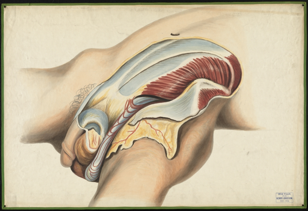 Teaching watercolor of a dissection of the inguinal region · OnView ...