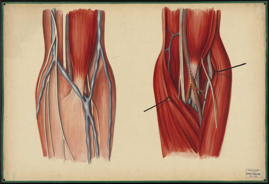 Teaching watercolor of the muscles, nerves, and blood vessels of the ...