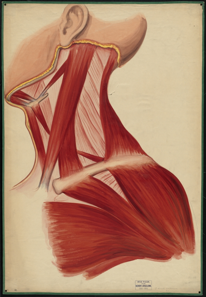 Teaching watercolor of the muscles of the neck, chest, jaw, and ...