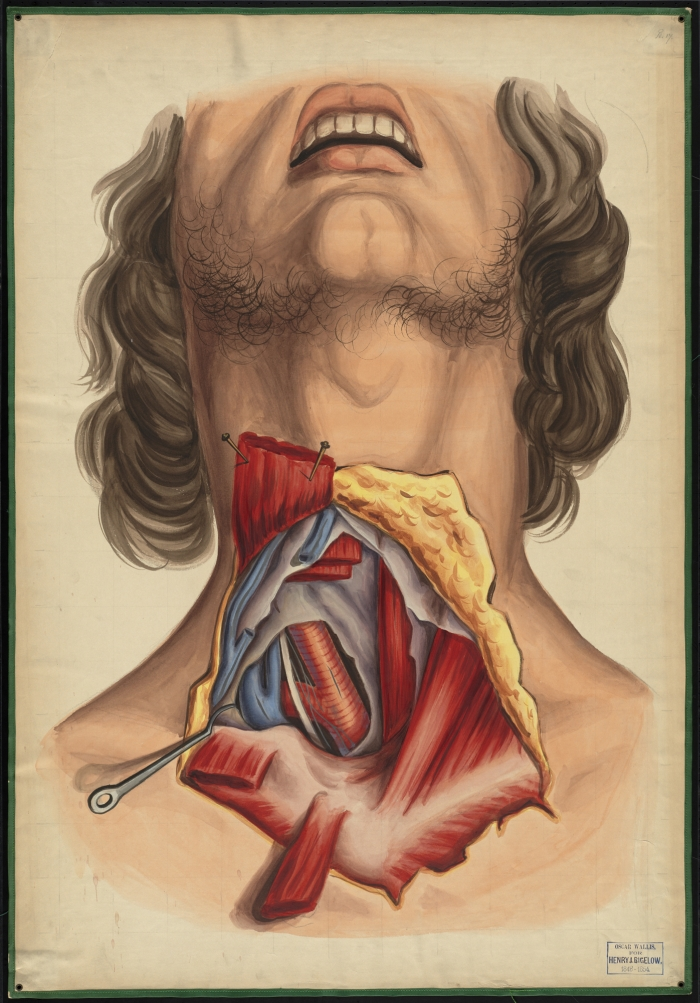 Teaching watercolor of a dissection of the neck showing muscles and ...