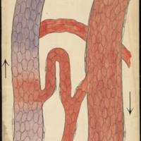 Teaching watercolor of capillaries