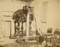 Skeleton of the Warren mastodon in the Warren Museum of Natural History, circa 1906.