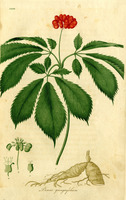 http://collections.countway.harvard.edu/onview/file_upload/ginseng.jpg