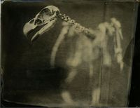 Wet plate collodion print of eagle skeleton