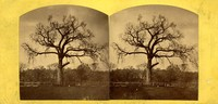 Stereographic view of Old Elm, Boston Common